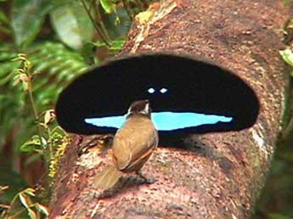 Учёные нашли в Австралии райских птиц с «невероятно» черными крыльями