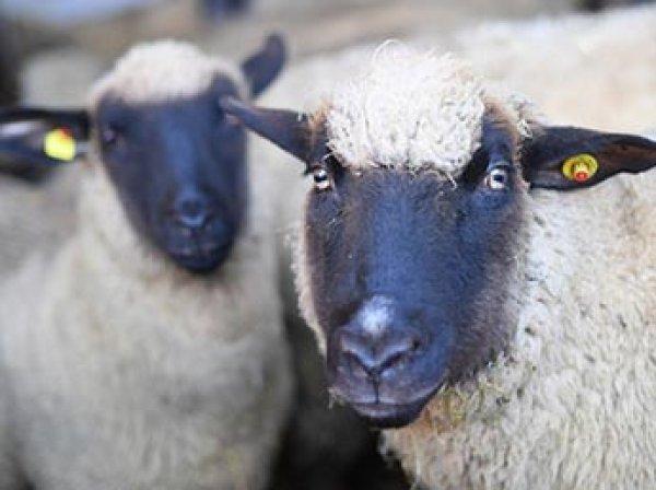 В США ученые впервые скрестили овцу с человеком