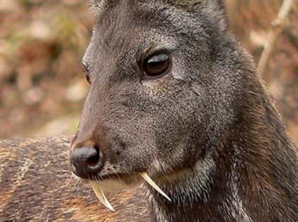 В Приморье на видео впервые засняли редкого саблезубого оленя