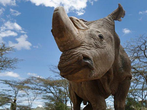 Умер последний на Земле самец белого северного носорога