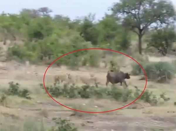 На YouTube появилось видео схватки буйвола с тремя львами