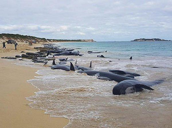 Свыше 150 дельфинов выбросились на берег в Австралии, спасти удалось лишь 15