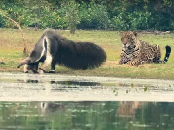 Опубликовано YouTube видео, как ягуар испугался огромного муравьеда