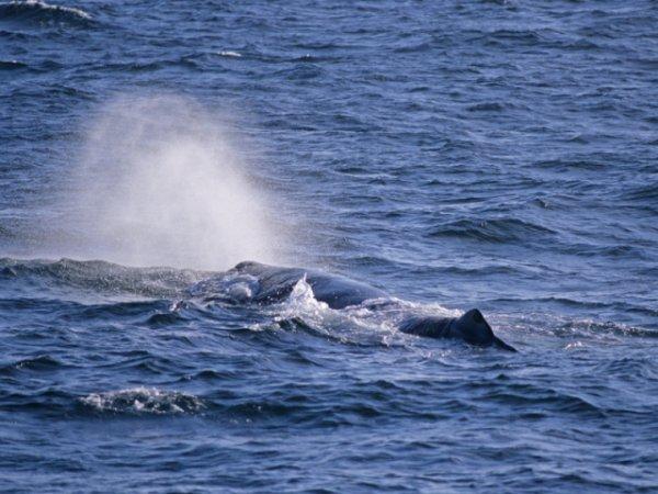 В водах Выборгского залива засняли горбатого кита