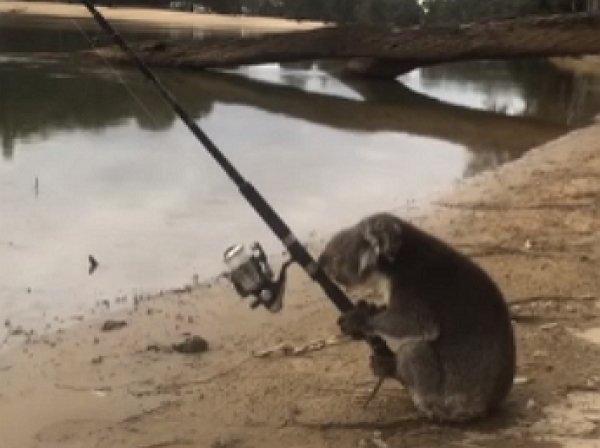 Австралийская коала стала звездой YouTube, освоив азы рыбной ловли