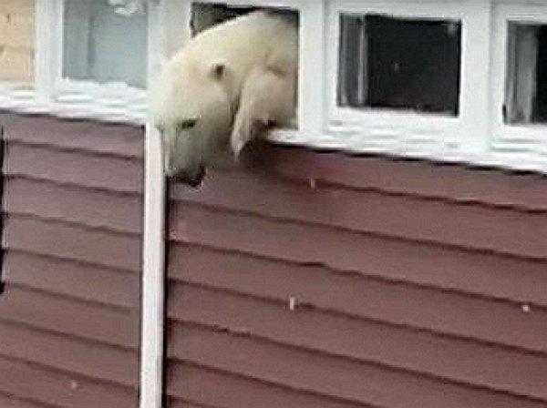 На YouTube попало видео, как объевшийся полярный медведь застрял в окне отеля