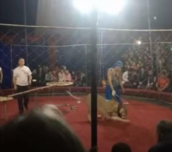 Опубликовано видео нападения львицы на ребенка в цирке на Кубани