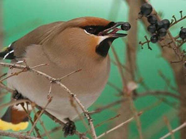 В США целый город атаковали пьяные птицы