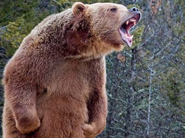 Медведь насмерть загрыз женщину с ребенком в Канаде