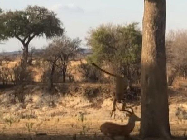 Турист снял на видео неожиданную атаку леопарда с дерева
