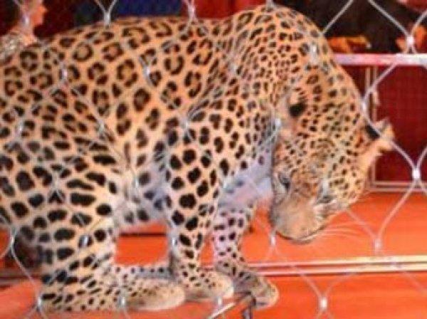 Леопард набросился на ребенка в фойе московского цирка
