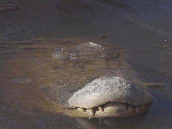 Сеть взорвало видео вмерзших в лед крокодилов в США