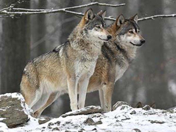 Волки вслед за полярными медведями начали терроризировать поселки Поморья