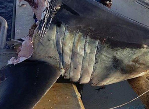 В Австралии рыбак выловил откушенную голову акулы-людоеда весом в 100 кг (ФОТО)