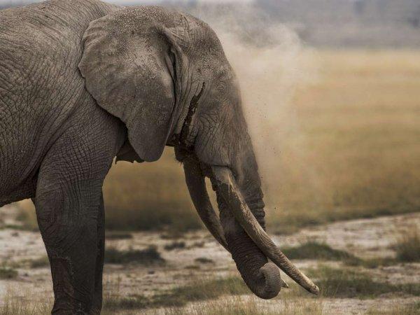 В ЮАР слон растоптал браконьера, охотившегося на носорога, после чего его растерзал прайд львов