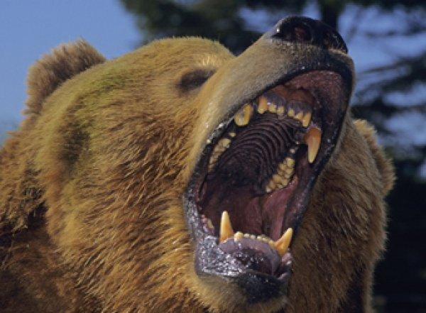 В Канаде медведь съел известного французского композитора