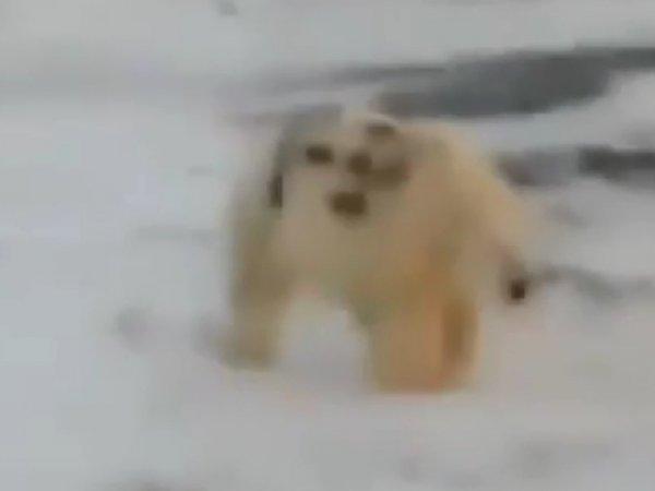 """""""Вояки шуткуют"""": видео с надписью """"Т-34"""" на боку белого медведя возмутило зоозащитников"""