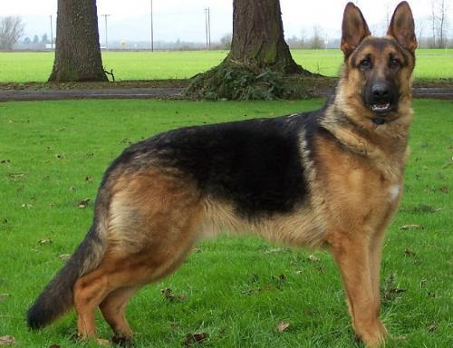 Популярные породы собак-охранников