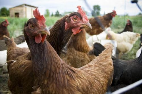Курица в аренду Еще одна австралийская компания предлагает вам возможность арендовать нового домашнего питомца — курицу. Слоган этой компании: «Если вы вернете ее, значит это была аренда. Если вы оставите ее, значит вы ее купили».