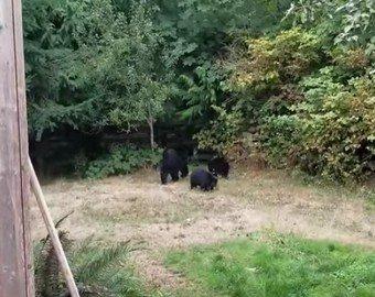 Мужчина уговорил медведей покинуть его двор