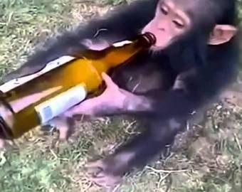 Обезьяна отобрала бутылку пива у туриста и выпила ее залпом