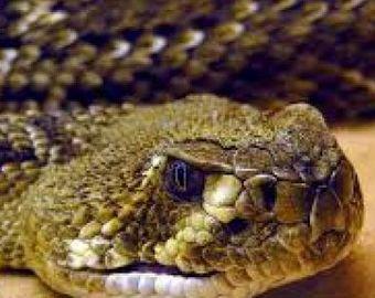 Фермер обнаружил на своем участке сотни гремучих змей