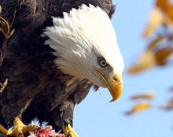 Белоголовый орлан ограбил рыбака