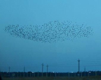 Тысячи птиц исполнили шоу в анапском небе