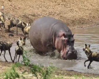 Бегемот попытался спасти детеныша антилопы от хищников