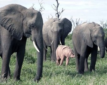 В ЮАР на видео засняли розового слоненка