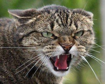Домашний кот устроил взбучку бультерьеру