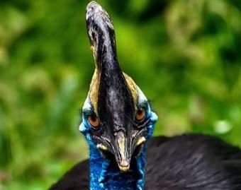 «Самая опасная в мире птица» ищет нового владельца
