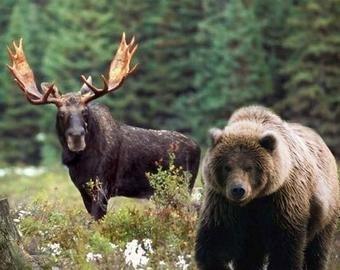Женщина спасла лося от медведя