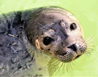 Видео знакомства балтийской нерпы с тюленем умилило соцсети