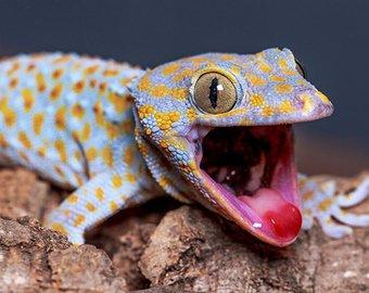 Женщина нашла геккона в упаковке с малиной