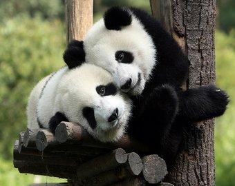 """Туристы в китайском зоопарке закидали панду камнями, пытаясь ее """"расшевелить"""""""