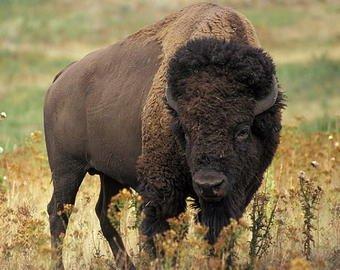 Бизон напал на девочку в национальном парке США