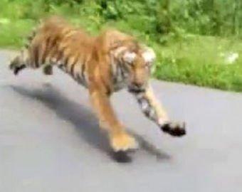 В Индии мотоциклист чудом избежал смерти в пасти тигра