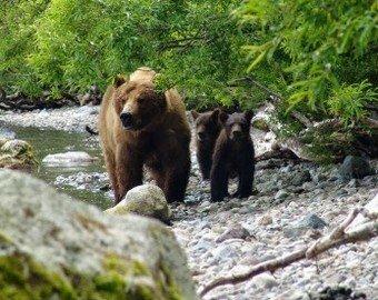 Медведь чуть не утащил пьяного рыбака в лес