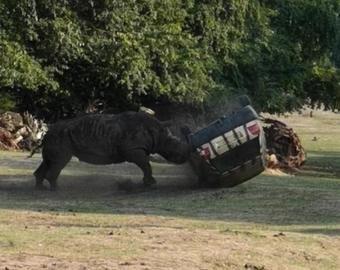 Носорог перевернул машину с человеком в природном парке