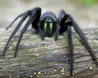 Мужчина нашел в офисе паука со светящимися челюстями
