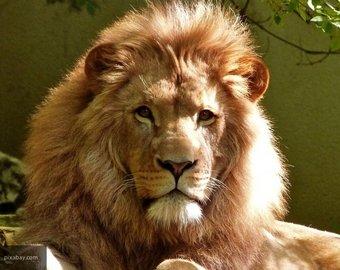 Посетительница зоопарка залезла в вольер, чтобы подразнить льва