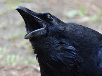 Ворона спровоцировала драку между котами