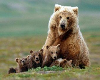 Автопилот Teslа спас жизнь медведице с детенышами