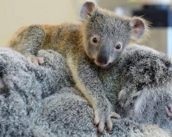 Детеныш коалы принял собаку за свою маму и умилил интернет-пользователей