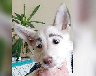 Собака с «человеческими» бровями стала интернет-звездой