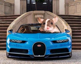 Ученые научили крыс водить автомобиль