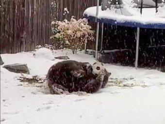 Американец снял на видео медведя, играющего в мяч в его дворе