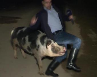 Свинья покусала журналиста в прямом эфире
