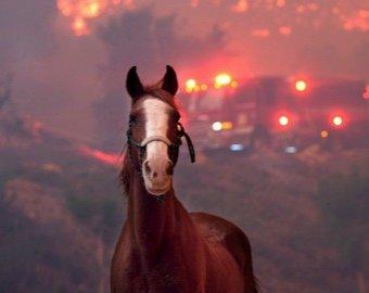 Жеребец вернулся в горящую конюшню, чтобы спасти кобылу с жеребенком